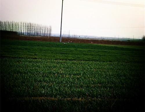 狂风中的小麦