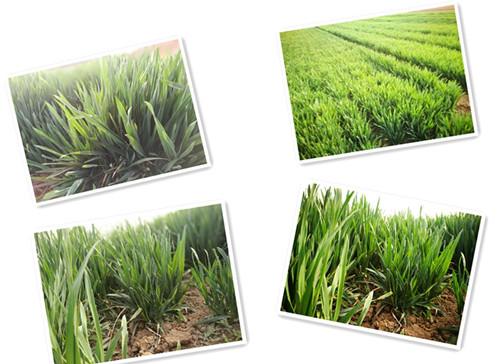 阳光下的小麦